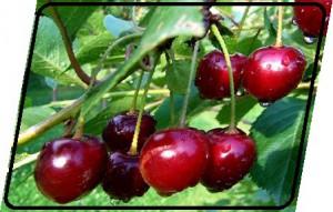 Sauerkirsch Früchte