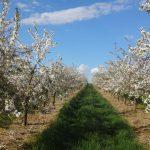 ein Weg mit grünem Gras fürt durch Blühende Sauerkirschbäume